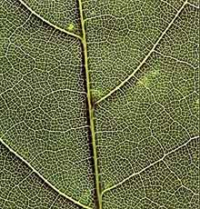 Branching veins in a leaf (courtesy of John W. Kimball)