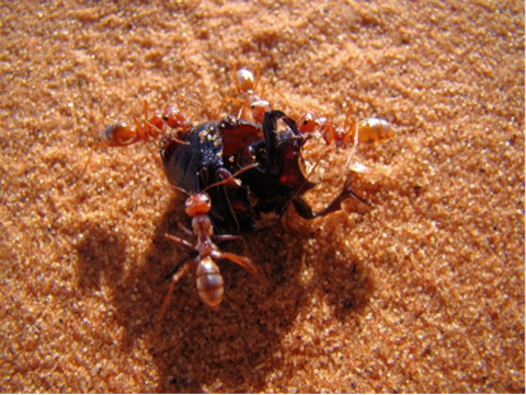 Saharan silver ants disassemble a beetle to take it back to the nest.