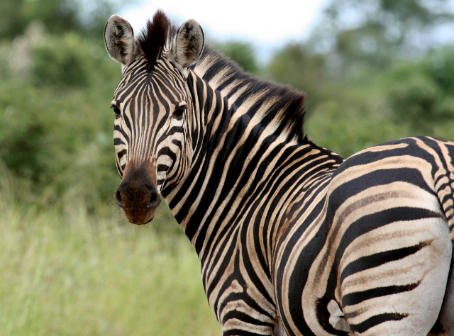 Zebra looks at the camera, exhibiting classic stripe pattern