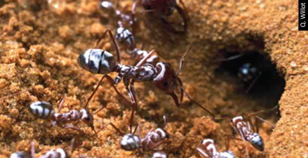 The Hairy Optics of Saharan Silver Ants <br>These desert-dwelling insects use biological fiber-optics to stay cool!